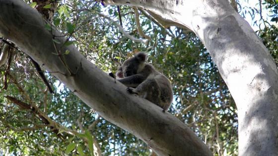 2011/02/25 noosa national park KOALA