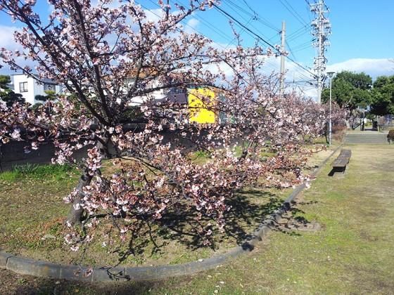 2014/02/04 興津寒桜