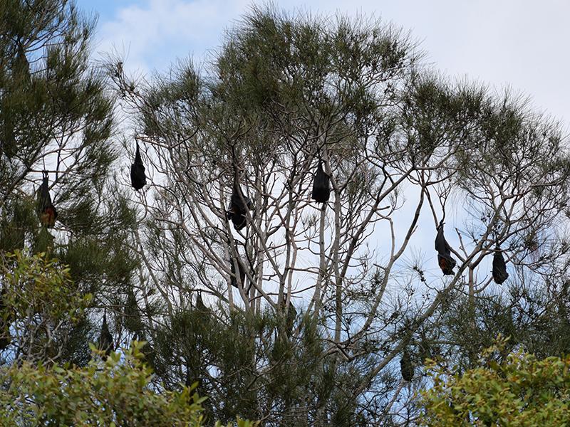 2019/02/27 コウモリ カランビン(QLD州) オーストラリア