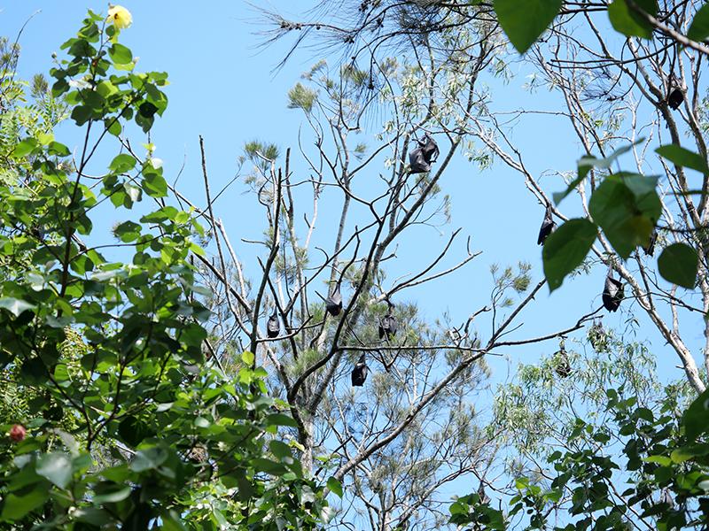 2020/02/19 カランビン コウモリが休んでいる木