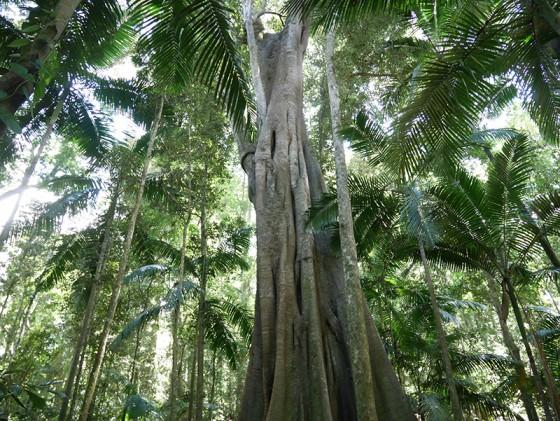 Fig Tree Walk Sunshine Coast Australia