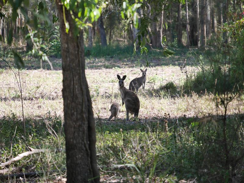 クーンババ国立公園でカンガルーに会える