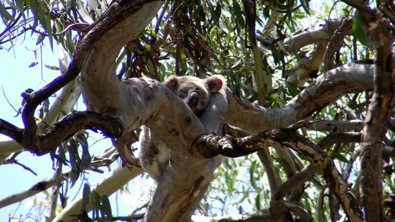 2015年大晦日 コアラ ティツリーにて(ヌーサ、オーストラリア)