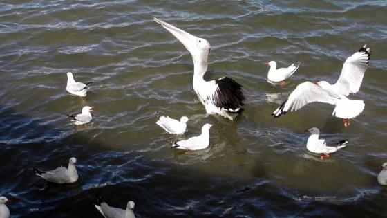 pelican & seagul